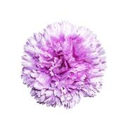Magenta artifical flower isolated - stock photo