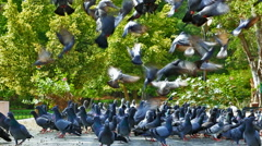 Pigeons Taking Off Stock Footage
