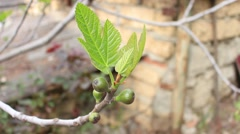 Vernal Leaves and small fruit of common fig. Stock Footage