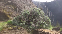 4k Bush plant in wet clouds altitude on mountain in Madeira Stock Footage