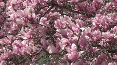 Washington DC beautiful spring blossoms 4K Stock Footage