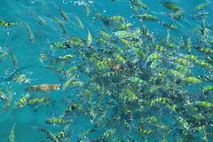 Fish(Indo-pacific sergeant)  in a tropical sea at Phi Phi island in Krabi Stock Photos