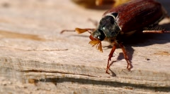 Cockchafer in garden Stock Footage