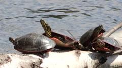 Painted Turtles sitting on a Log Sun Bathing Stock Footage