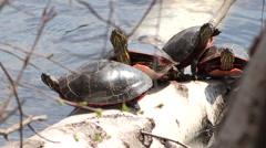 Painted Turtle Sunbathing on a Log - stock footage