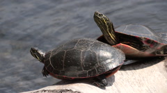 Painted Turtle Sunbathing on a Log - stock footage