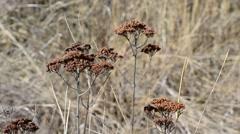 Achillea millefolium. Beautiful dry wizened yarrow flowers Stock Footage