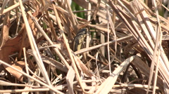 Grass Snake in Dried Cattails Stock Footage