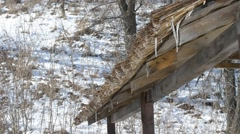 Water from melting snow and ice drips from thatched roof Stock Footage