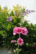 Wisteria and Garden hollyhock lcea Althea rosea - stock photo