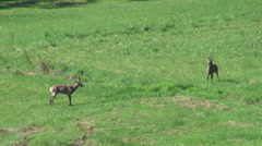 Two young deers - some situations - showing strength and walk Stock Footage