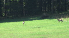 Two young deers - some situations - attack, defence and run Stock Footage