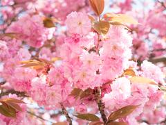 Sakura pink flower on spring sky background - stock photo