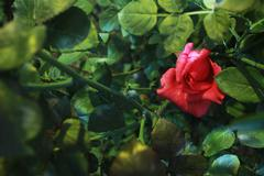 Solitary Rose - stock photo