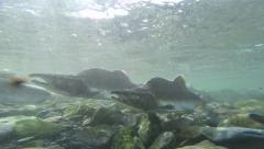 Underwater male pink salmon swimming upstream to spawn Stock Footage