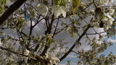 Blossom apple tree with bumblebee Stock Footage