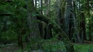 Stock Video Footage of 4K Redwood 3 Axis Dolly 01 Santa Cruz
