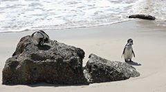 Penguins at Boulders Beach (Simonstown, South Africa) Stock Footage