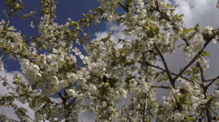 blossom apple tree with bumblebee - stock footage