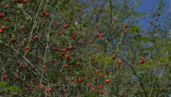 Panning rose hips 4K 2160p UHD video -Rose hips natural background 4K  Stock Footage