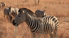 Zebra grasing Stock Footage