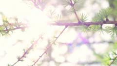 Sun shining through branch of larix with new green needles and cones. Stock Footage