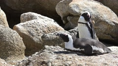 Penguins (at Boulders Beach (Simonstown), South Africa) Stock Footage