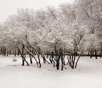 Lilacs in the snow Stock Photos