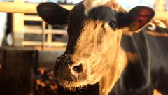 Cow in the Barn Stock Footage