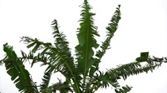 Banana tree on green foliage with gentle to moderate wind breeze. Stock Footage
