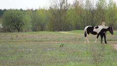 Horse coloring cow in a field Stock Footage