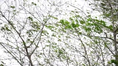 Almost leafless tropical  tree branches sway in wind on overcast cloudy day. Stock Footage