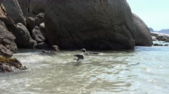 Penguins in Simonstown (South Africa) Stock Footage