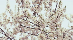 Twigs with apple tree blossoms - stock footage
