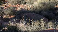 Static Shot of Bedded Dessert Buck With Ears Moving to Detect Sound Stock Footage