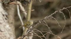 Bird songs: goldcrest (Regulus regulus) singing and flying away. - stock footage