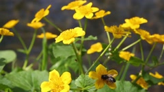 Wild Marsh marigold (Caltha palustris) against the backdrop of the river Stock Footage