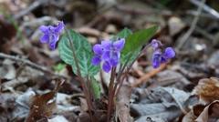 Wild Violet Selkirk (Viola selkirkii Pursch ex Goldie) blooms in May - stock footage
