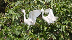 Two white bird Egretta Garzetta, little egret fly in top of the tree in lake-Dan Stock Footage