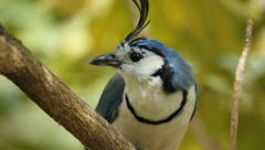 White-throated magpie-jay calling out. Closeup. Costa Rica. Stock Footage