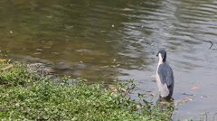A bird Nycticorax Nycticorax, black-crowned night heron, resting in water-Dan Stock Footage