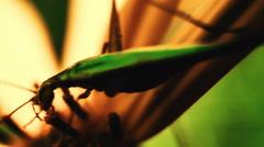 Cricket On Flower Topinambur (Jerusalem artichoke). Close Up.Macro Stock Footage