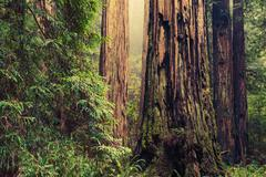 Old Redwood Trees Stock Photos