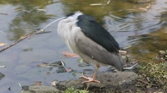 A bird Nycticorax Nycticorax, black-crowned night heron, rest in the lake-Dan Stock Footage