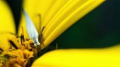 Cricket On Flower Topinambur (Jerusalem artichoke). Close Up. Stock Footage