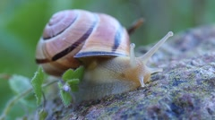 Close up of a Brown-lipped snail on a rock in a garden Stock Footage