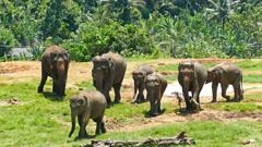 Elephants at Pinnawala in Sri Lanka Stock Footage