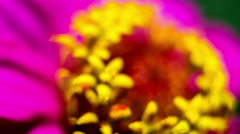 Zinnia Flower, Also Tsiniya. Close up. Macro. Stock Footage