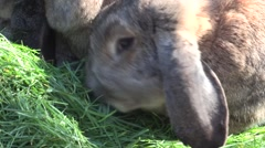 Close up of two domestic rabbits feeding on grass Stock Footage