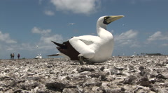 Mother Blue Footed Booby provides shade for her infant baby Stock Footage